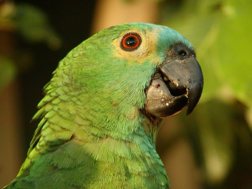 Projeto Blue Fronted Parrot Project