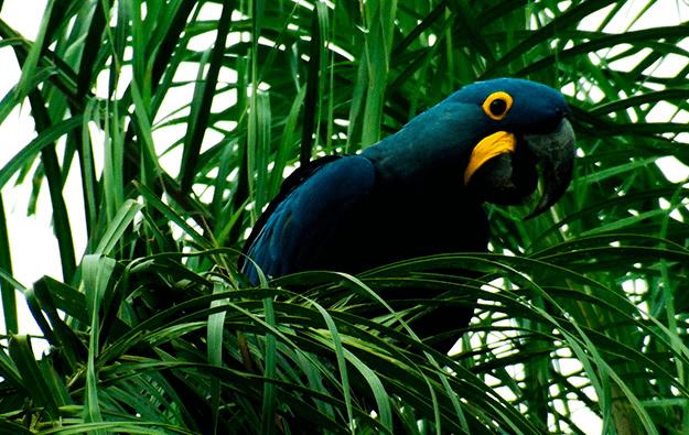Projeto Hyacinth Macaw Project