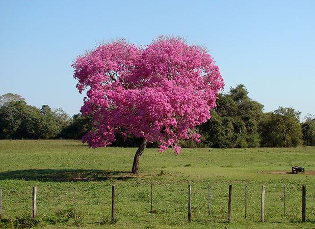 Floração de píuvas