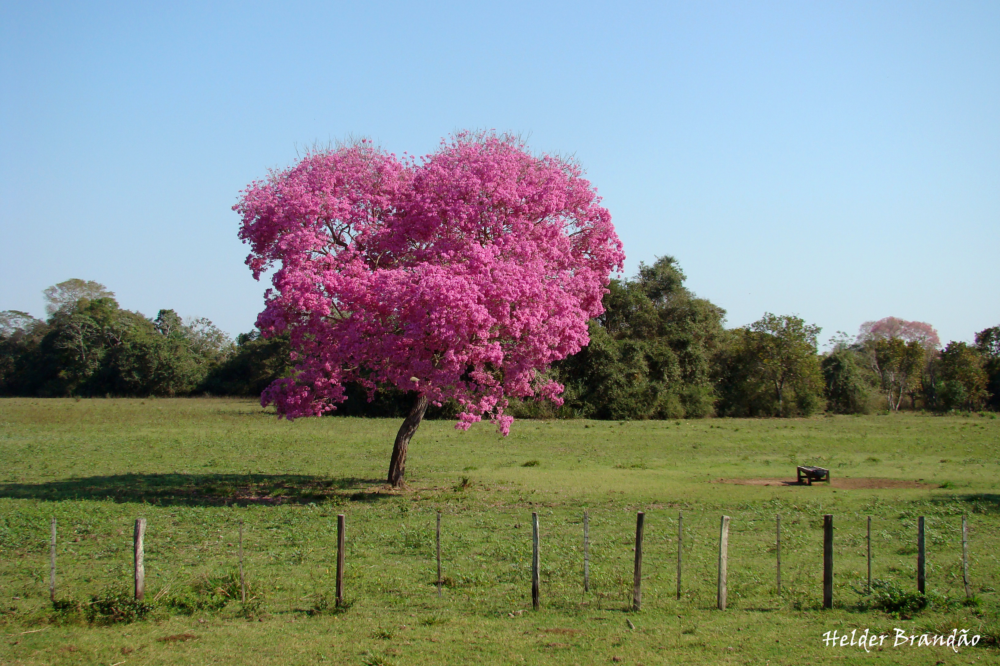 Pink ipês blooming